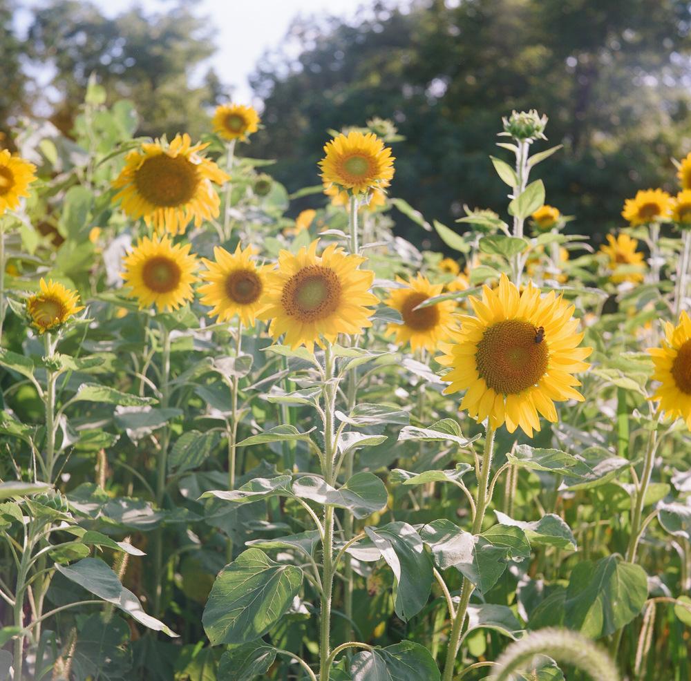 Dodd_Sunflowers